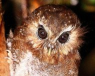 ohs/data/images/17/Long_whiskered_Owlet__1_Eyes_Correction_Owlet_Lodge_AW_2011_pq.jpg