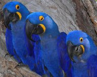 ohs/data/images/22/Hyacinth_Macaw_family_in_nesting_cavity_pq.jpg
