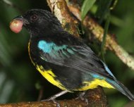 ohs/data/images/27/Black_and_Gold_Tanager_pq.jpg